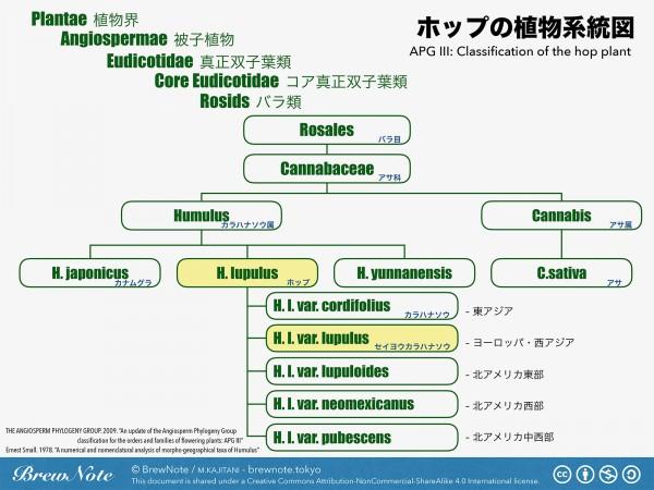 ホップの植物系統図